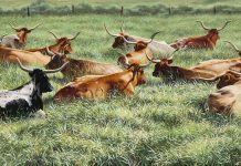 Ann Hanson Longhorn Lounge cattle prairie western oil painting