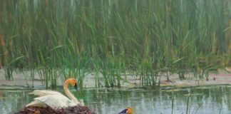 andrew peters wildland nativity geese nesting marsh lake wildlife oil painting prix de west exhibition